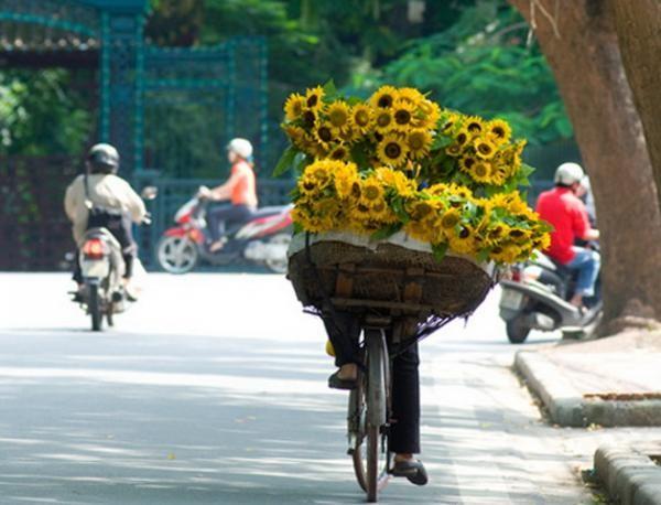 Sunflowers fills the streets of hanoi