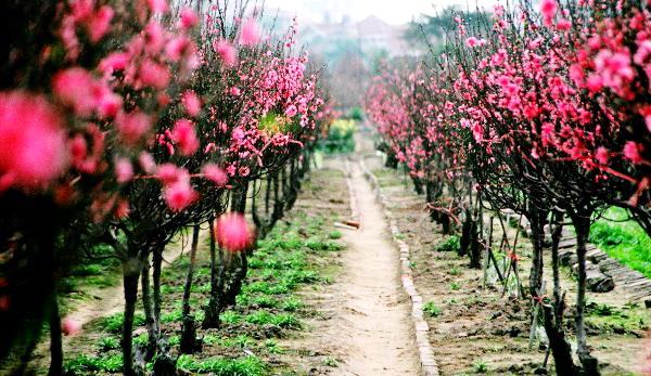 Hanoi Spring Flower on Vietnam Tet Holiday - Hanoi city tour 7