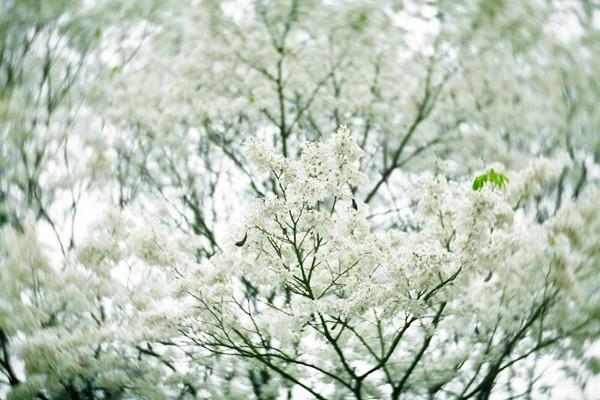 Flowers of dalbergia tonkinensis in hanoi