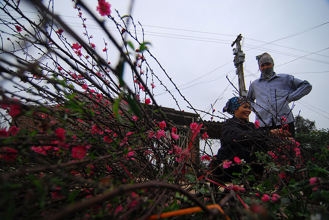 Hanoi becomes colorful with peach blossoms in spring - seasons in Hanoi