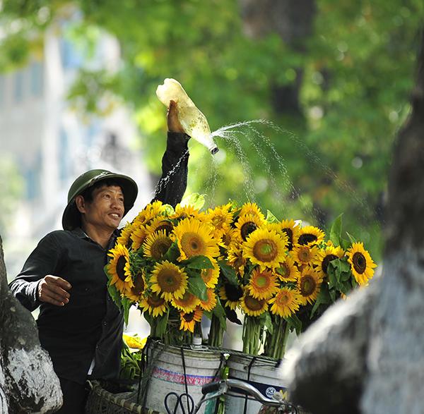 Sunflowers make May of Hanoi more beautiful - Hanoi guide