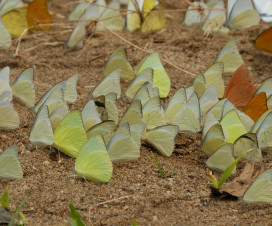 Amazing butterflies drinking at Cuc Phuong National Park - tour from Hanoi