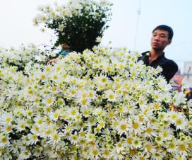 x-eye daisy season in Hanoi - - Hanoi attractions