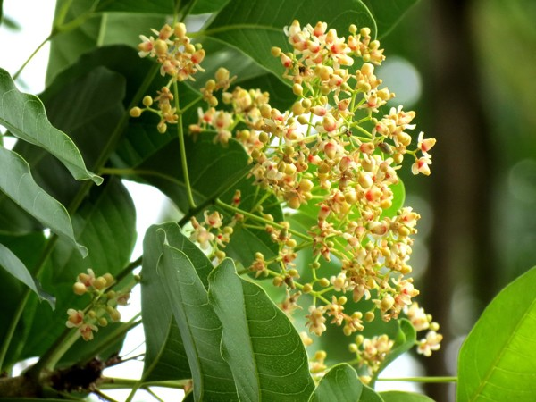aragonite flowers in May of Hanoi - hanoi travel