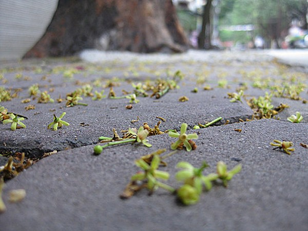 Small and pretty blossoms cover the road  - hanoi discovery tours