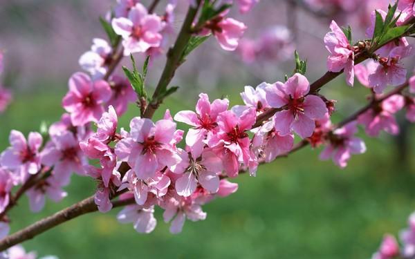 beach blossom - symbol of spring in northern Vietnam - hanoi flowers