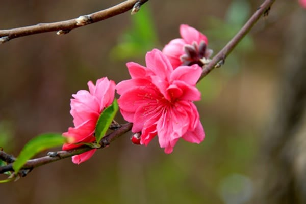 beach blossoms -  flowers of January in Hanoi - hanoi attractions
