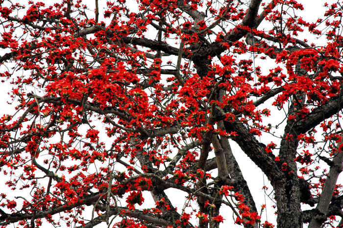 blazy red flowers of hanoi's march - elegant hanoi discovery