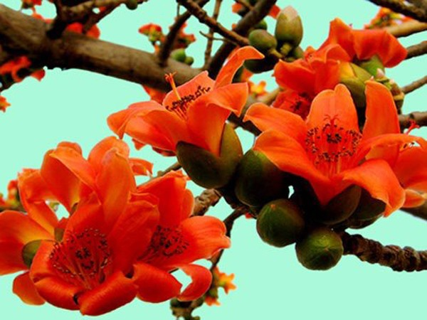 March - month of bombax flowers  - hanoi discovery