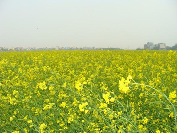 Extensive fields of yellow blumea flowers in December - Hanoi attractions