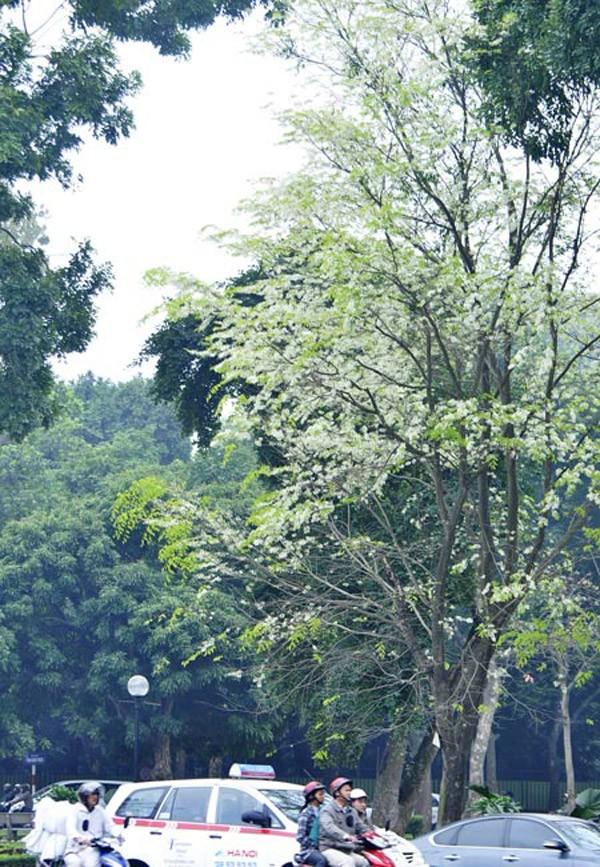 Hoa Sua - Flower of February in hanoi - elegant hanoi