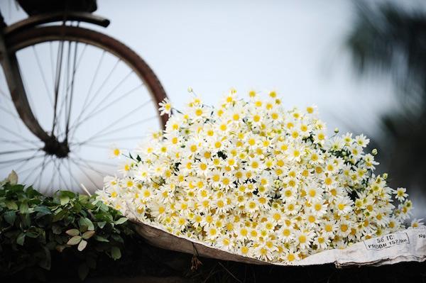 Hundreds of tiny daisies huddled together - Hanoi day trips