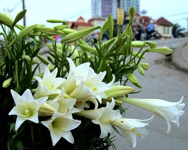 Lily covers hanoi streets in April - Hanoi attractions