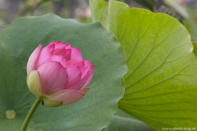 loLotus in June Hanoi - hanoi featured flowers