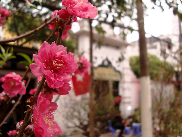 Peach blossoms mark another spring reaching Hanoi - Hanoi attractions