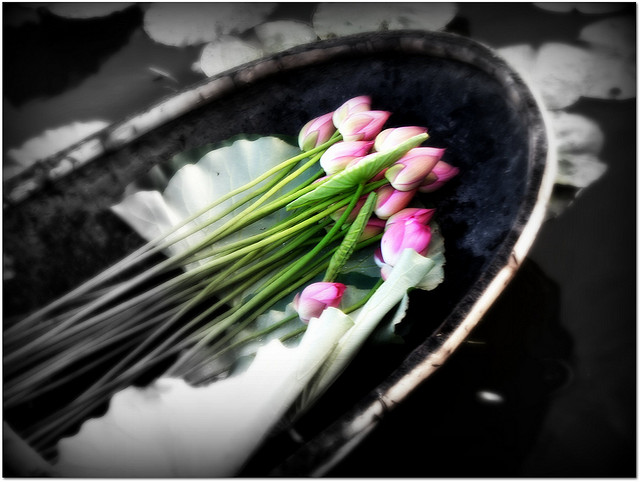 Pick up lotuses in early morning - hanoi attractions