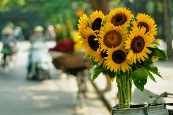 July - time of sunflowers - best time to visit Hanoi