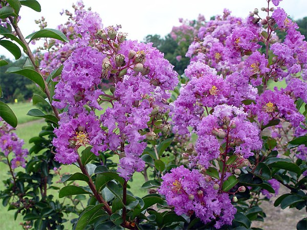 Banaba flowers of hanoi - what to see in Hanoi